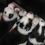 Xen Calvin 4 wks Katie Dot, Hattie and Solo nursing