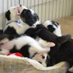 Xen_Calvin Litter 5 wks Puppy Party